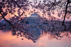 Cherry Blossoms at Dawn by BC Design