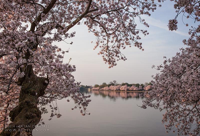 Cherry Blossoms at Dawn © Bryan Crabtree